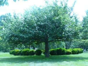 big beautiful tree